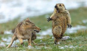 Атака лисы на сурка, толкучка пингвинов и армия муравьев-солдат. Лучшие фото дикой природы 2019