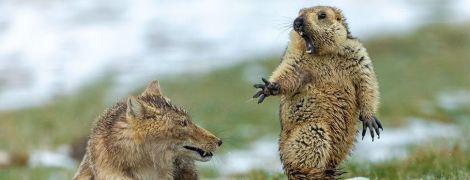 Атака лисиці на бабака, штовханина пінгвінів та армія мурах-солдатів. Найкращі фото дикої природи 2019
