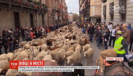 Более 700 овец пастухи вывели на улицы Мадрида, чтобы защитить право на пастбища