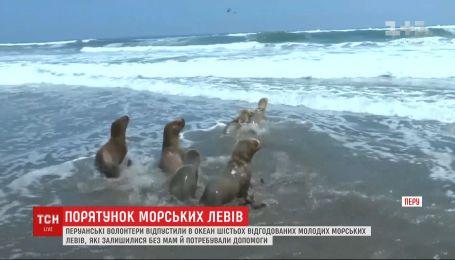 6 морских львов, которые отбились от стада и заблудились, выпустили в океан в Перу