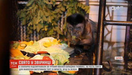 В харьковском зоопарке отпраздновали 30-летний юбилей бурого капуцина по имени Гномик
