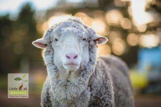 Самая пушистая в мире овца умерла в Австралии