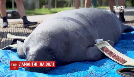Зоозащитники выпустили в Атлантический океан 400-килограммового ламантина