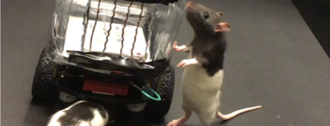 Крыс научили управлять крошечными автомобилями. Все ради науки