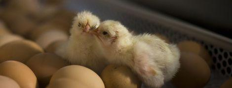 У Швейцарії заборонили практику перемелення курчат живцем