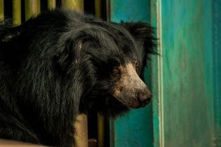 В Индии арестовали браконьера, который ел пенисы медведей-губачей