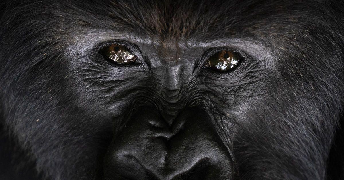 Почему гориллы бьют себя в грудь: ученые нашли еще одну причину