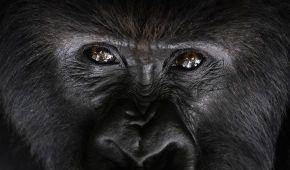 Чому горили б'ють себе в груди: вчені знайшли ще одну причину
