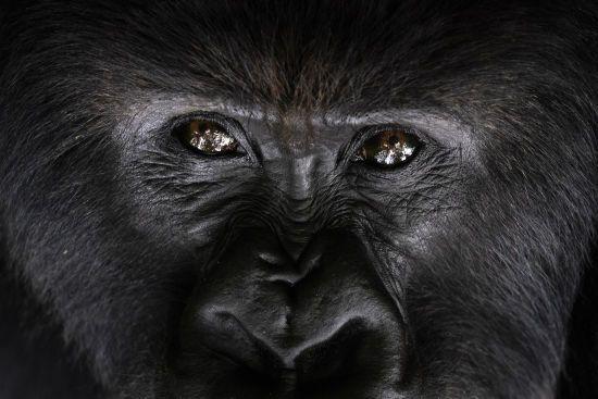У США від коронавірусу почали вакцинувати мавп