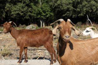 Голодные козы спасли библиотеку президента США от пожара