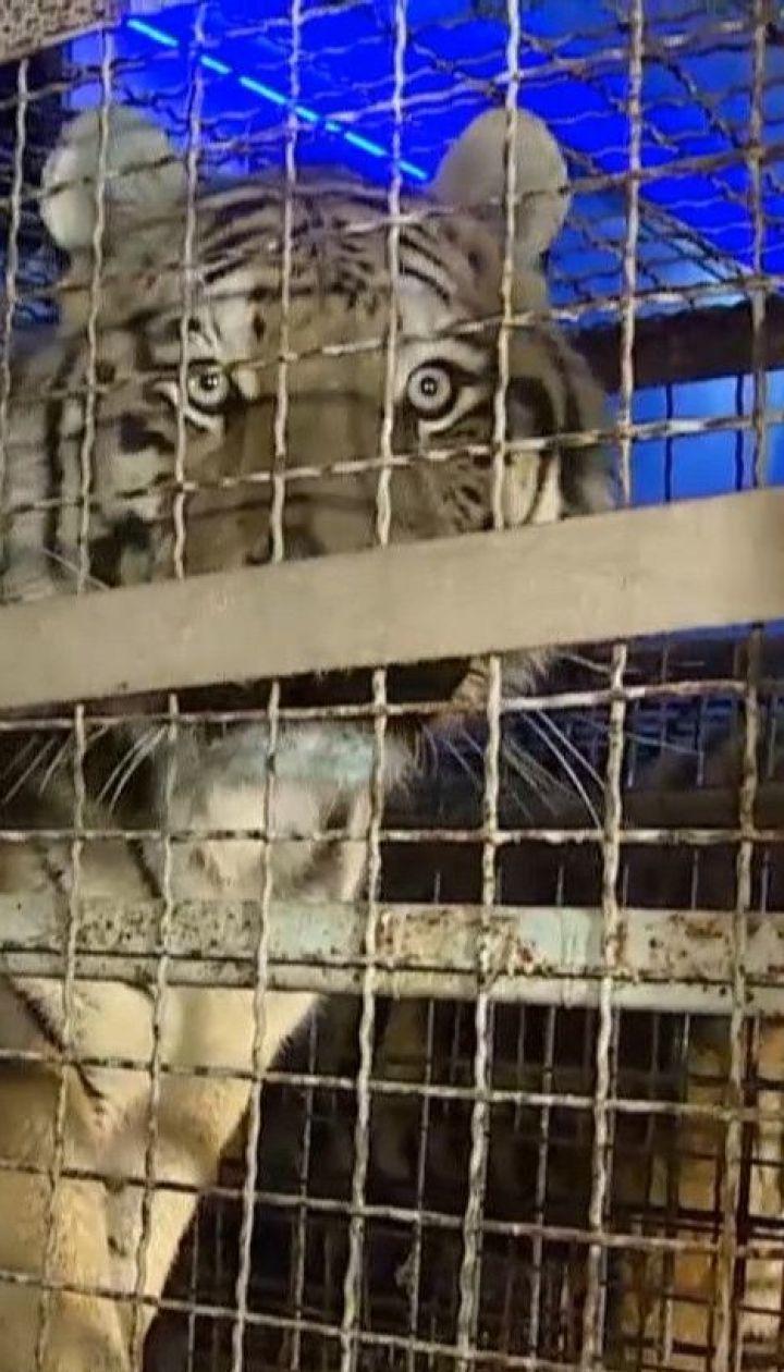 На польському кордоні затримали росіянина, який намагався незаконно перевезти до Білорусі 10 тигрів