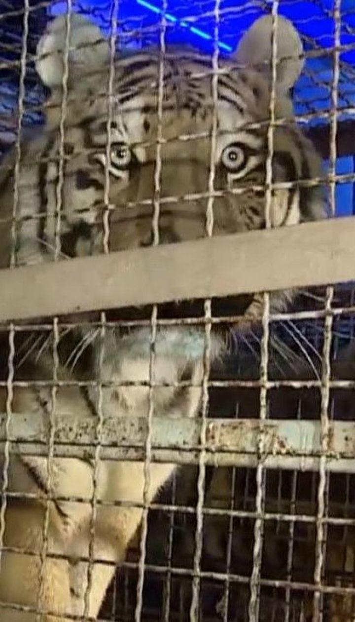 На польской границе задержали россиянина, который пытался незаконно перевезти в Беларусь 10 тигров