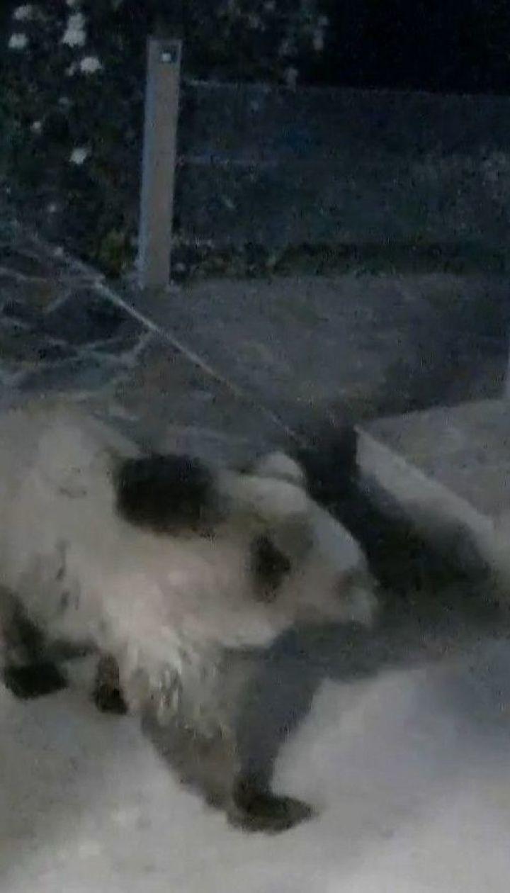 В горный отель в Болгарии дикий медведь наведывается для купания в бассейне
