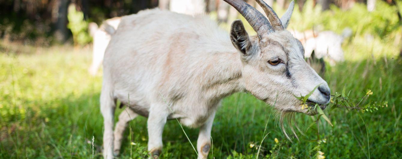 """В Боснии и Герцеговине мужчина объяснил секс с козой тем, что животное """"соблазнило"""" его"""