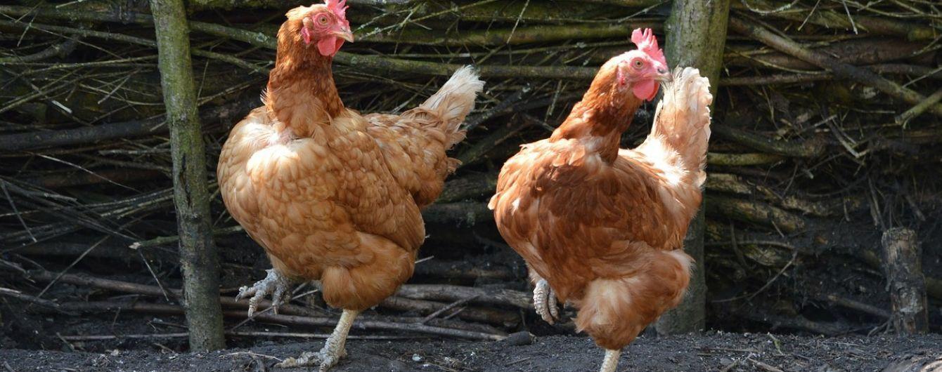 Спалах пташиного грипу в Польщі: загинули вже понад сто тисяч птахів
