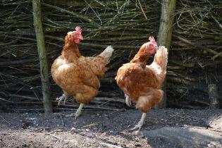 Білорусь заборонила ввезення курятини з України