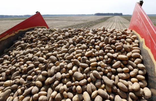 До України завозять рекордну кількість російської картоплі