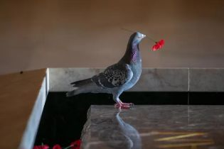 В Австралии вандал воровал цветы с могилы Неизвестного солдата. Им оказался голубь