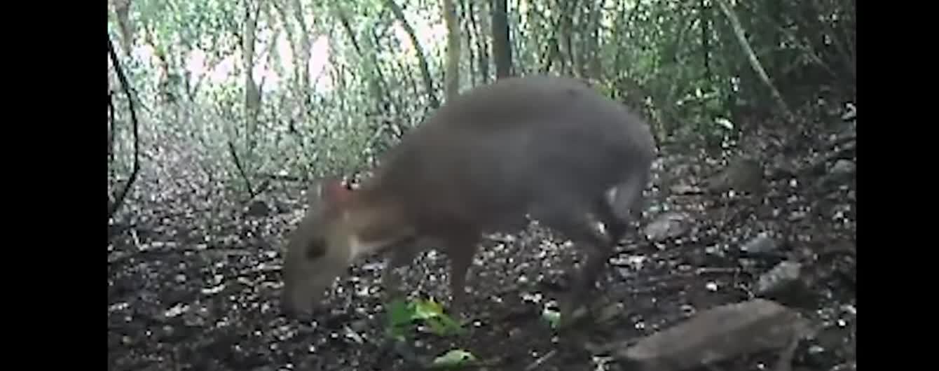 У В'єтнамі вперше за 29 років зафільмували оленя, якого вважали вимерлим