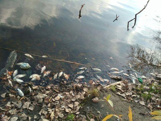 На Житомирщині масово гине риба, поліція відкрила кримінальне провадження