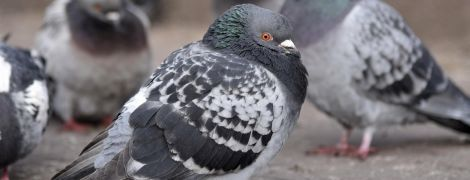 Чому в голубів часто не вистачає пальців: учені запропонували неочікувану відповідь