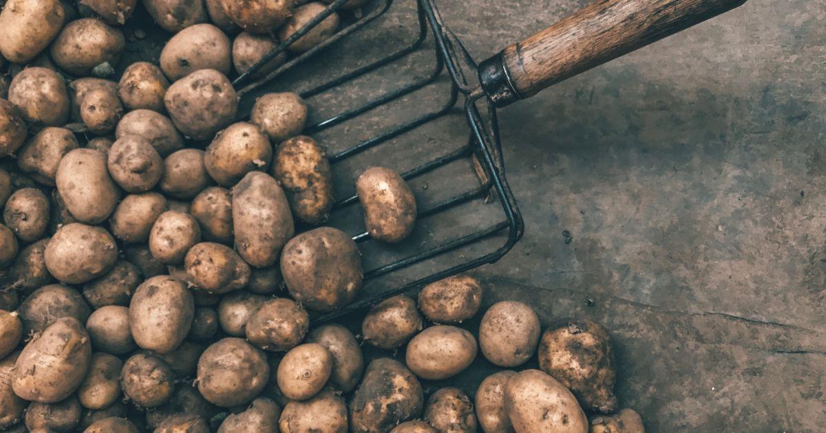 В Україні подорожчала картопля: яка вартість овоча