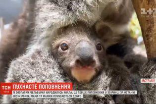 В семье коал родился малыш в австралийском зоопарке