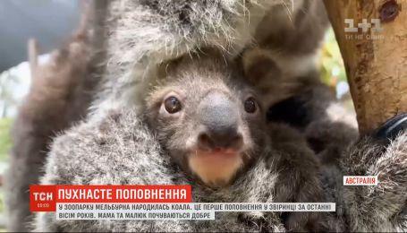 У родині коал народився малюк у австралійському зоопарку
