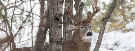 У США фотограф зазнімкував рідкісного трирогого оленя