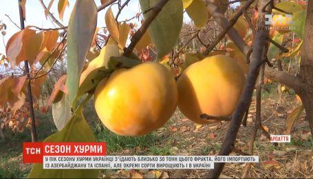 Скільки коштує українська хурма і наскільки цей фрукт корисний – з'ясовувала ТСН