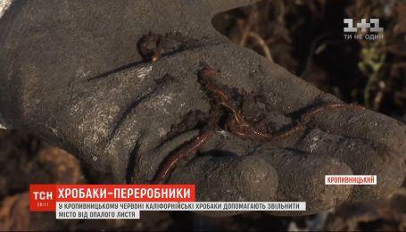 Два миллиона червей помогают освободить город от опавших листьев в Кропивницком