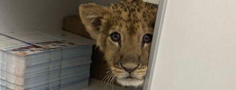 В Киеве косметологическая клиника использовала настоящего львенка ради развлечения, зоозащитники возмущены