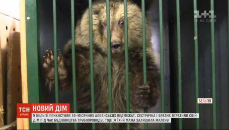 Новый дом для медвежат: в Бельгии приютили двух албанских косолапых