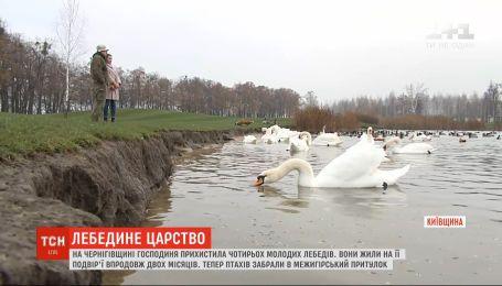На Чернігівщині жінка прихистила чотирьох молодих лебедів