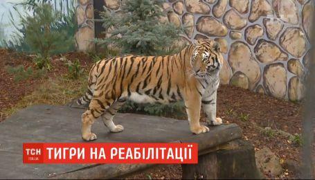 У зоопарку Польщі успішно адаптують двох вилучених на кордоні тигрів