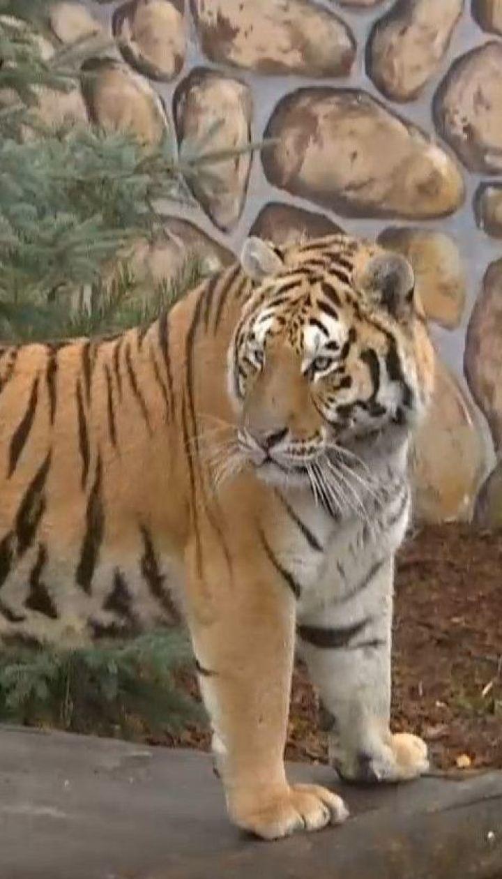 В зоопарке Польши успешно адаптируют двух изъятых на границе тигров