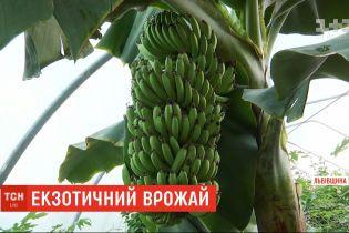 Бананы, цитрусовые и кофе: плодовые экзотические растения выращивают возле Львова