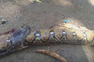 Кобра проковтнула гігантського пітона на Філіппінах