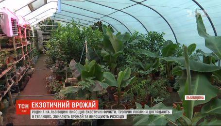 Тропический уголок: семья во Львовской области в теплицах успешно выращивает экзотические фрукты