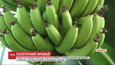 Родина на Львівщині у власній теплиці вирощує екзотичні фрукти та саджанці для інтер'єру