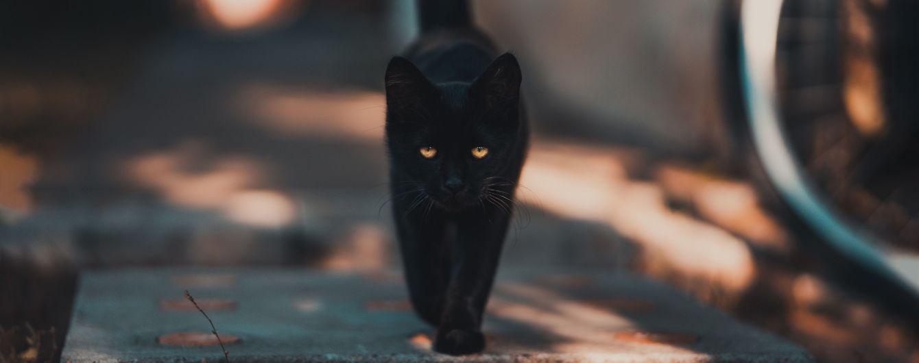 У США загублена кішка знайшлася за дві тисячі кілометрів від дому