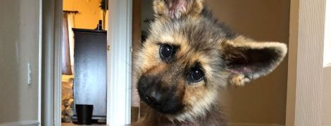 В США немецкая овчарка родилась с редкой болезнью – она всегда будет выглядеть, как щенок