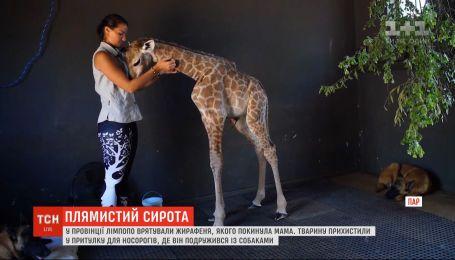 В провинции Лимпопо спасли малыша жирафы, которого бросила мама