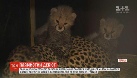 В польском зоопарке публике показали двух новорожденных гепардов