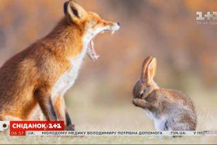 """Зовсім не як у казці: вся правда про """"стосунки"""" лисиць і зайців"""