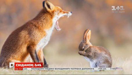 """Совсем не как в сказке: вся правда об """"отношениях"""" лис и зайцев"""