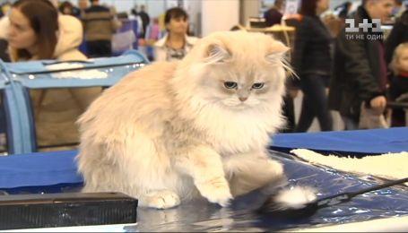 В ближайшие выходные в третий раз пройдет крупнейшая выставка кошек в Украине