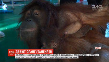 В харьковском экопарке впервые показали крошечного 2-месячного орангутанга
