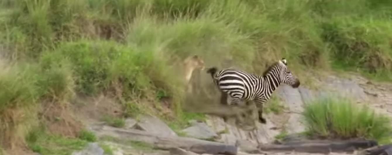 У Кенії зафільмували зебру, яка копитами дала ляпаса левиці і врятувалася