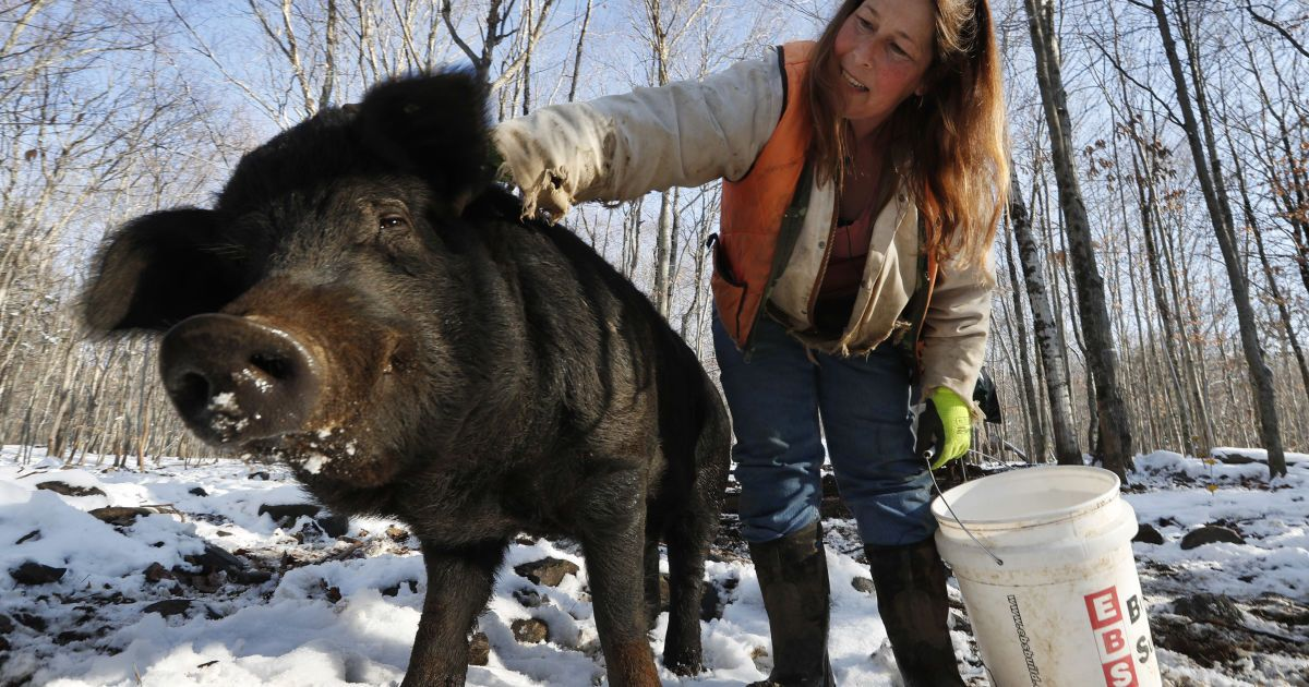 В США дикие свиньи загрызли насмерть женщину, которая ехала на работу
